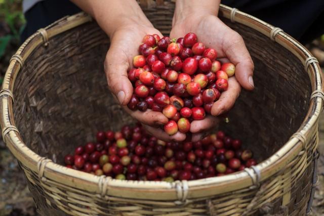 Caffè biologico e organico, le differenze per non lasciarsi trarre in inganno