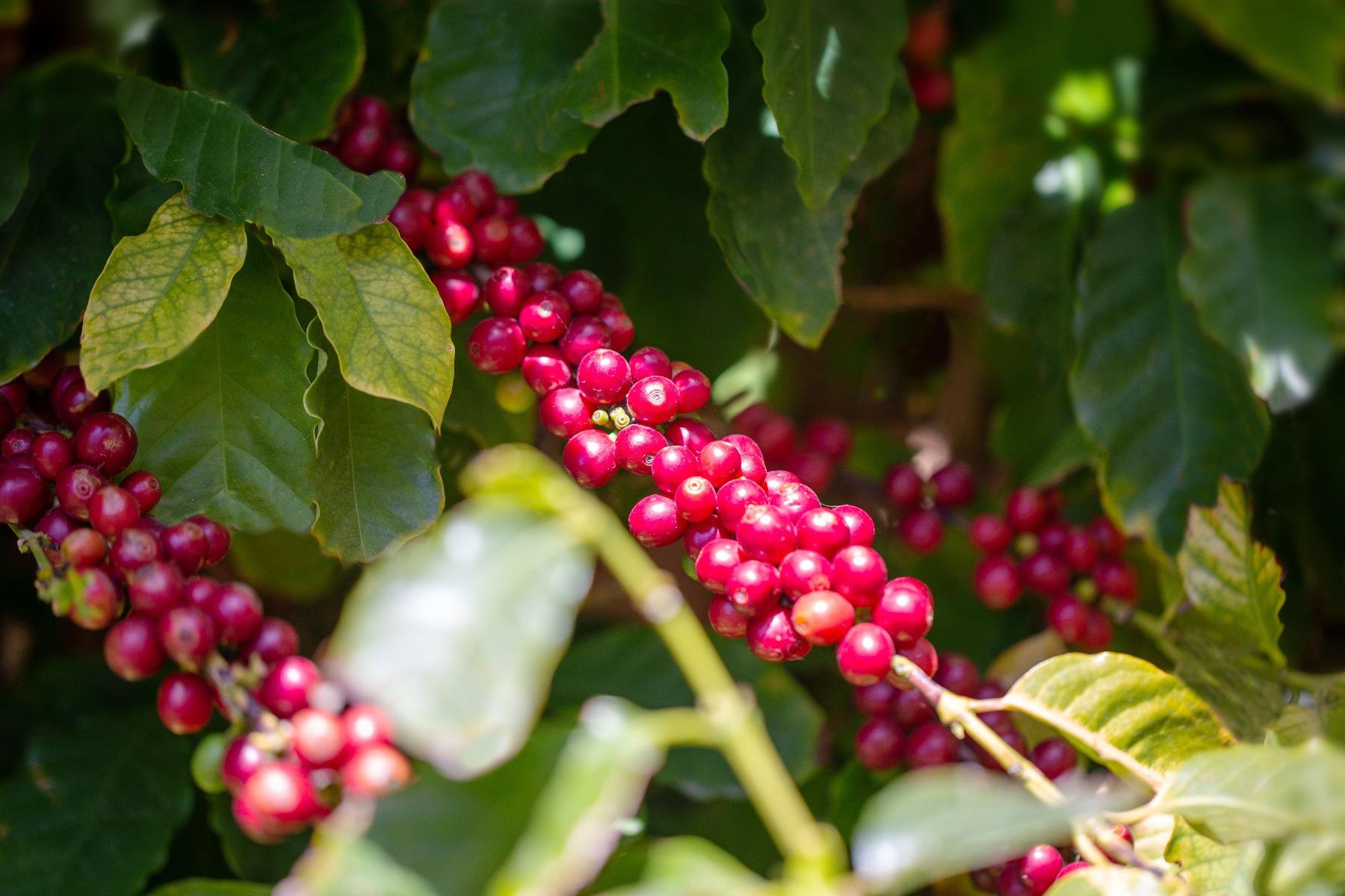 La Sicilia terra di caffè. Morettino presenta il progetto sperimentale del caffè nativo dell'Isola
