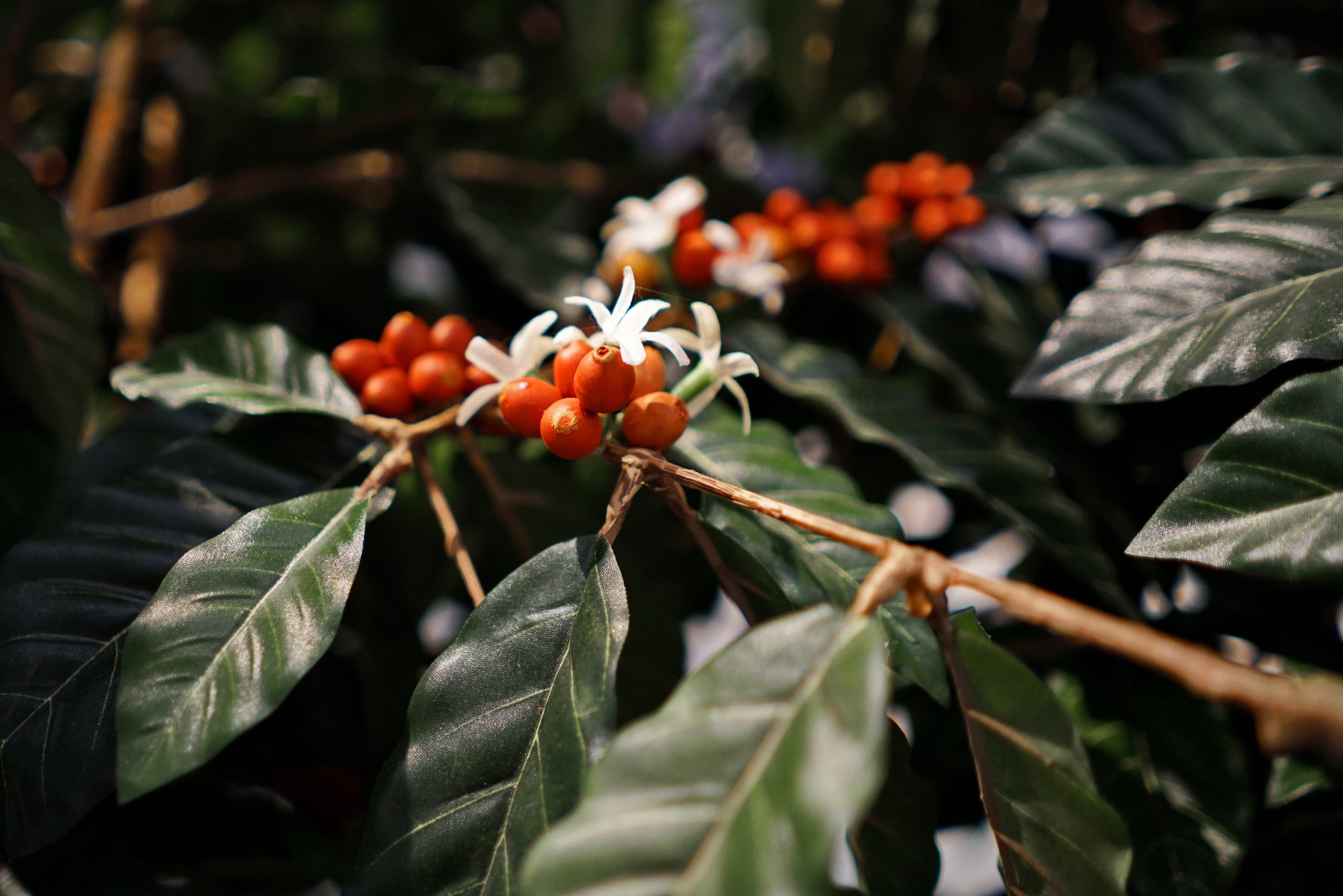 It smells like orange blossom and produces fruits called cherries: this is all there is to know about the coffee plant